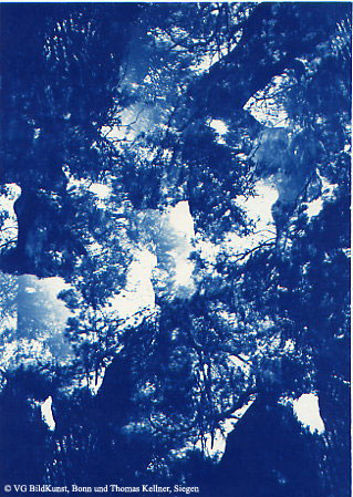 "Thomas Kellner: Pinetrees 03, 1997, Cyanotype, 16,4x23,5 cm/6,4""x9,2"", 10+3"
