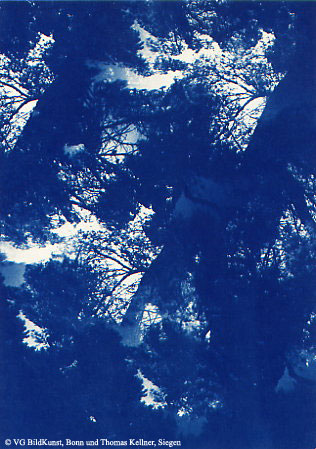 "Thomas Kellner: Pinetrees 07, 1997, Cyanotype, 16,4x23,5 cm/6,4""x9,2"", 10+3"