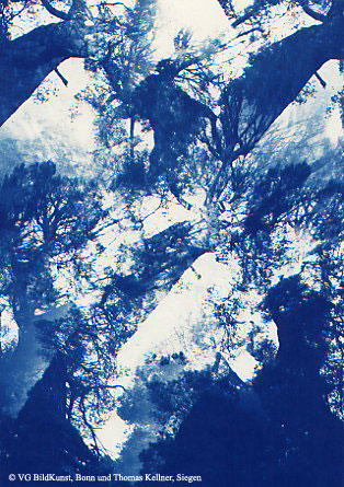 "Thomas Kellner: Pinetrees 11, 1997, Cyanotype, 16,4x23,5 cm/6,4""x9,2"", 10+3"