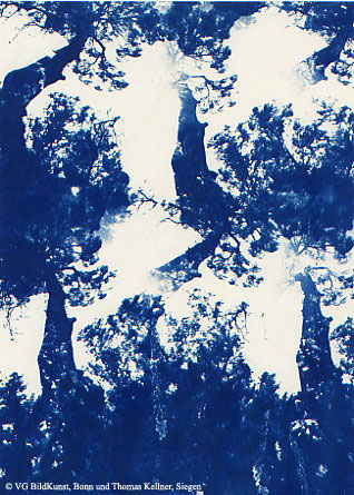 "Thomas Kellner: Pinetrees 12, 1997, Cyanotype, 16,4x23,5 cm/6,4""x9,2"", 10+3"